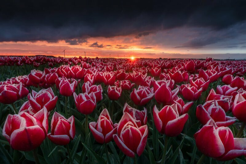 Завораживающие виды тюльпановых полей Голландии