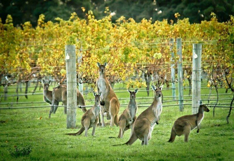 Вино австралия, большой барьерный риф, интересное, континент, природа, факты