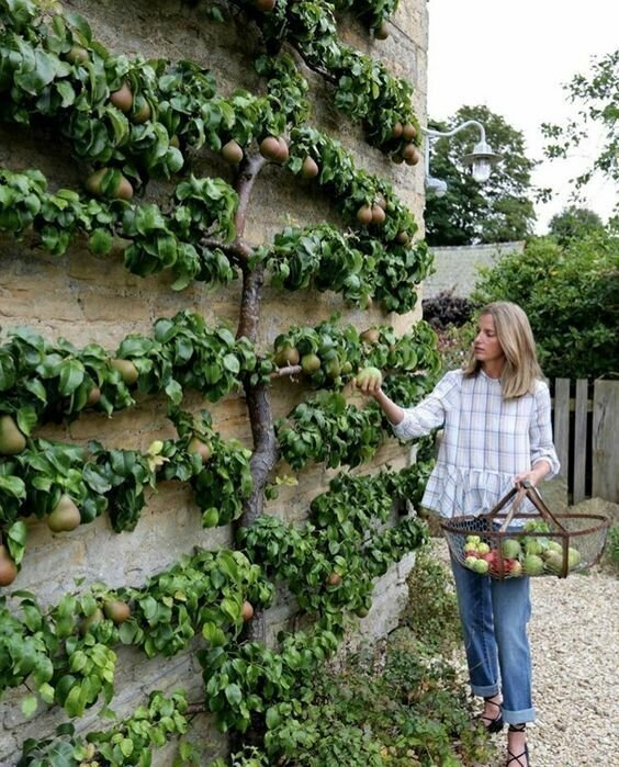 Как правильно формировать крону дерева дача, огород, подборка, прикол, прополка, сад, юмор