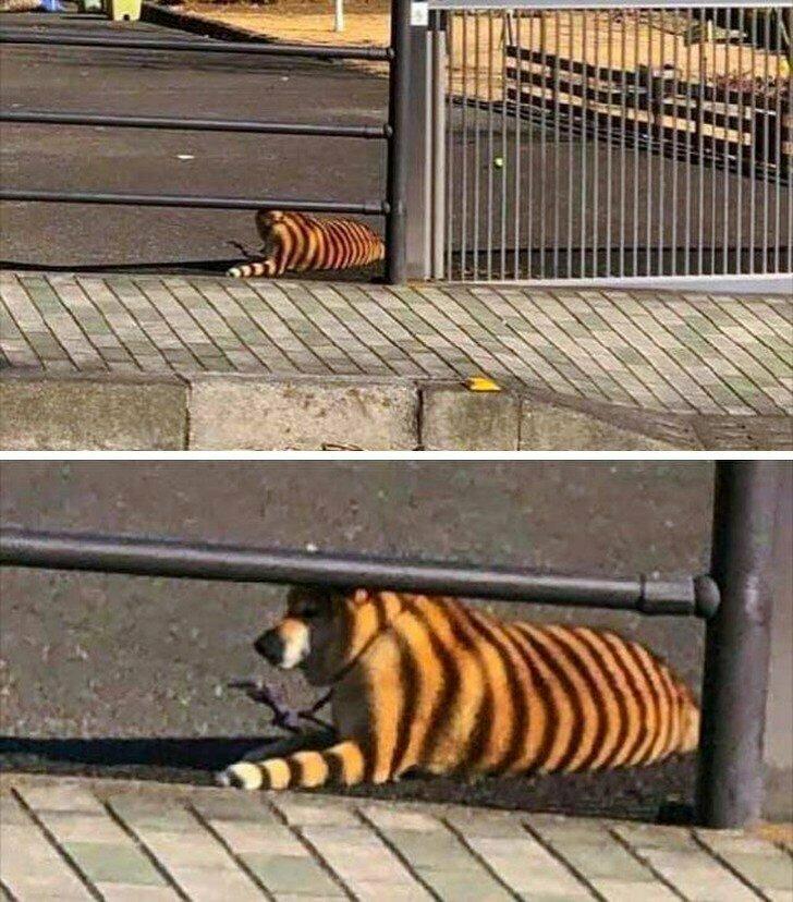Тигр в городе! животные, иллюзия, люди, обман зрения, сломать мозг, удивление