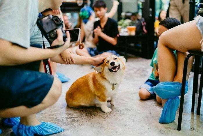 Кофе в компании корги, или как неожиданное пополнение в семье дало толчок для стартапа бангкок, кафе, корги, порода собак, собаки, собаки видео, таиланд, туристу на заметку