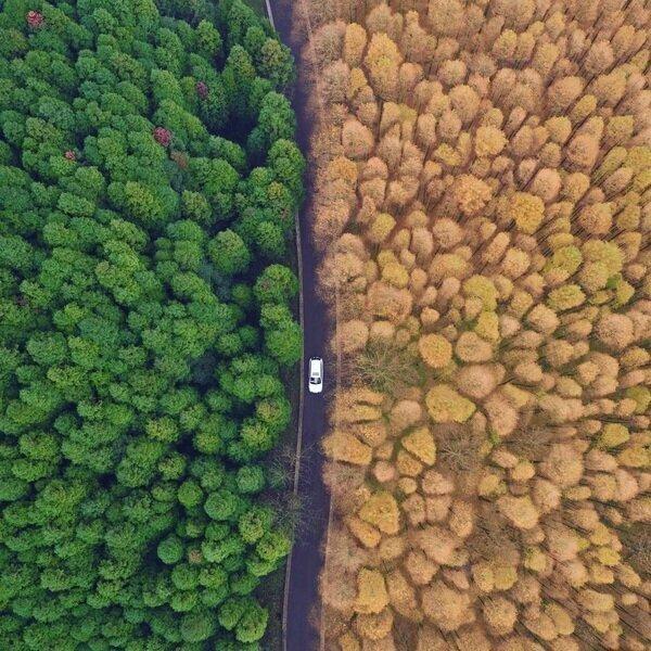 Автомобиль движется между лесами красного дерева и японского кедра на территории национального эко-парка в городе Чунцин на юго-запад Китая.