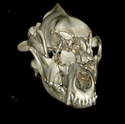 Собаке было всего девять месяцев, когда ее сбил мотоциклист животные, история, овчарка, операция, реконструкция, собака, череп