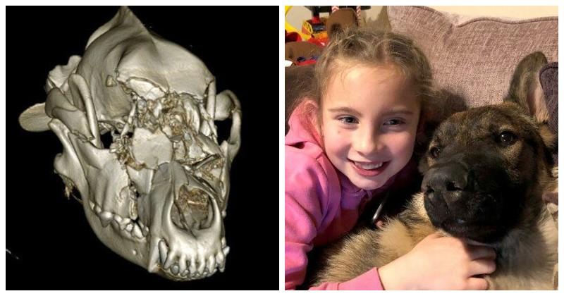 Почти полмиллиона рублей на пластическую операцию для собаки животные, история, овчарка, операция, реконструкция, собака, череп