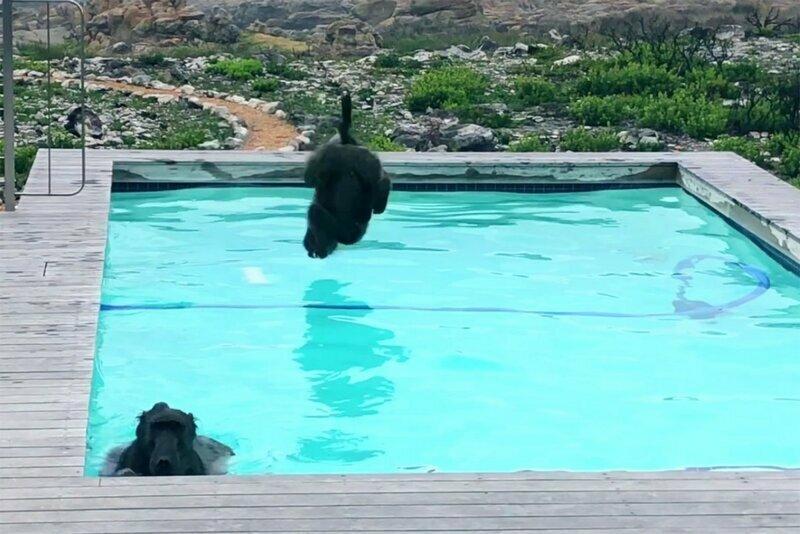 Парочка диких обезьян, оккупировавшая бассейн, явно отдохнула на славу