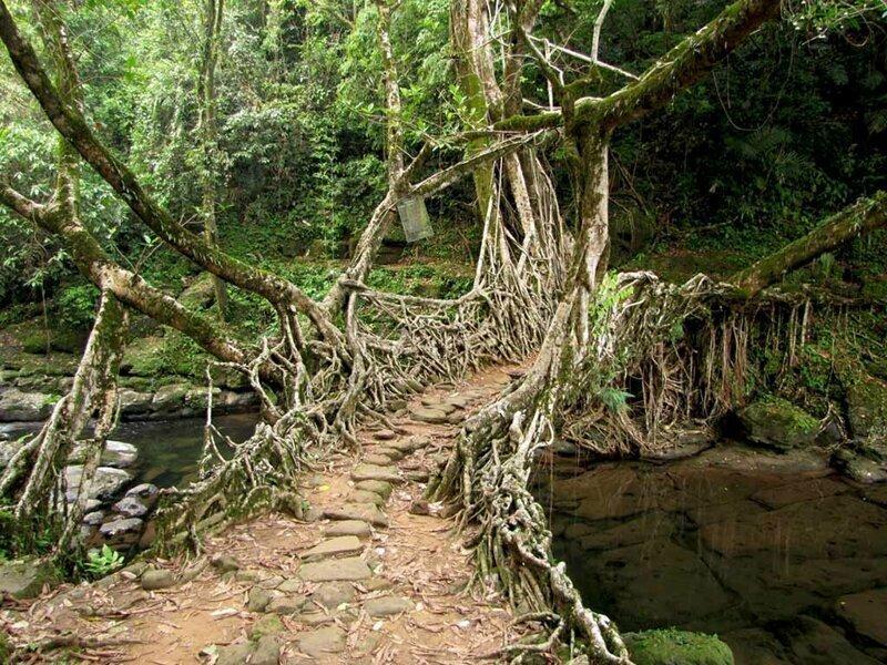 В индийском городе Черапунджи есть подвесные мосты из корней, созданные практически самой природой. Племена народа кхаси, которые проживают на этой территории, возделывают живые мосты