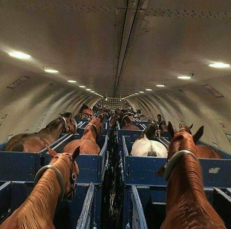 Так в самолетах перевозят лошадей