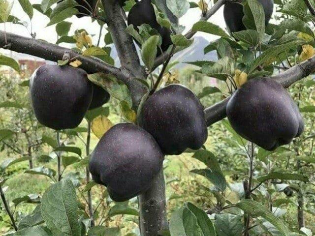В Тибете выращивают черные алмазные яблоки
