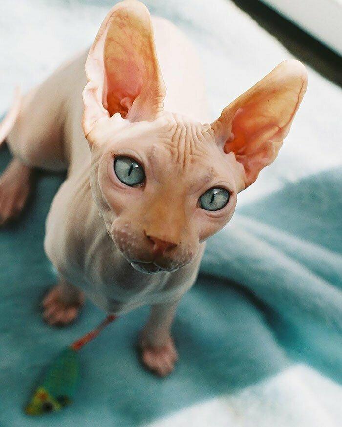 Сфинксы - те же кошки, только лысенькие