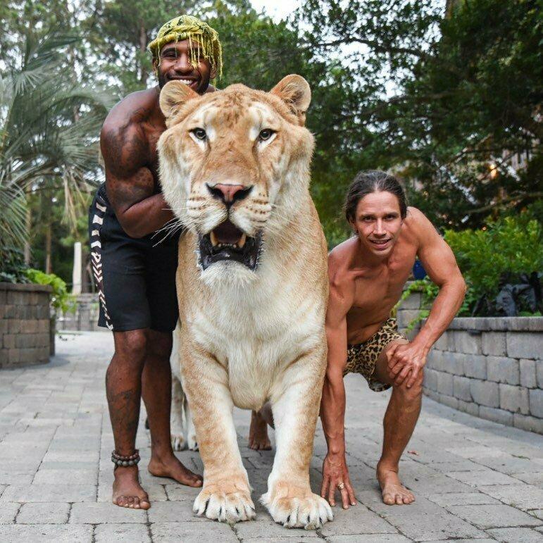 Большой котик! гибрид, дикая природа, животные, лигр, лигры, львы, природа, тигры