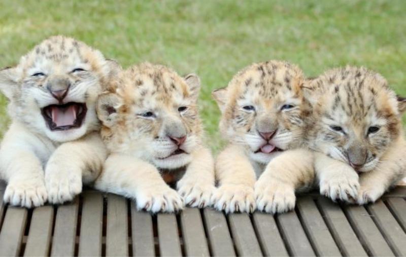Аполлон с братьями в декабре 2013 года гибрид, дикая природа, животные, лигр, лигры, львы, природа, тигры