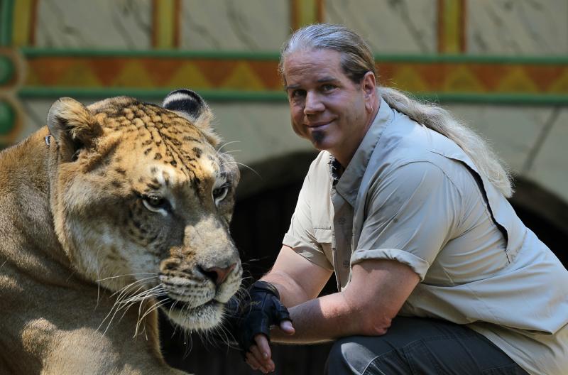 Гигантские котики, или лигры во плоти гибрид, дикая природа, животные, лигр, лигры, львы, природа, тигры