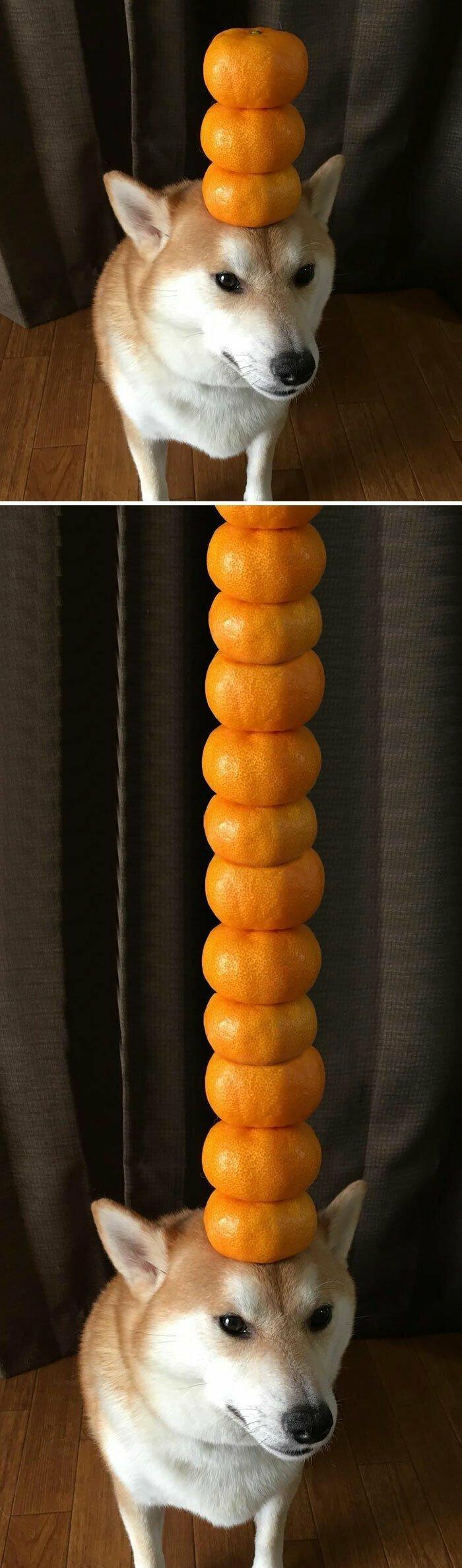 Сиба-ину - мастер над мандаринами