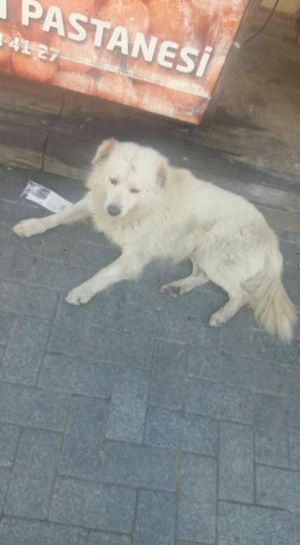 Сын хозяина Лео был в соседнем городе и увидел собаку, очень напоминающую потеряшку
