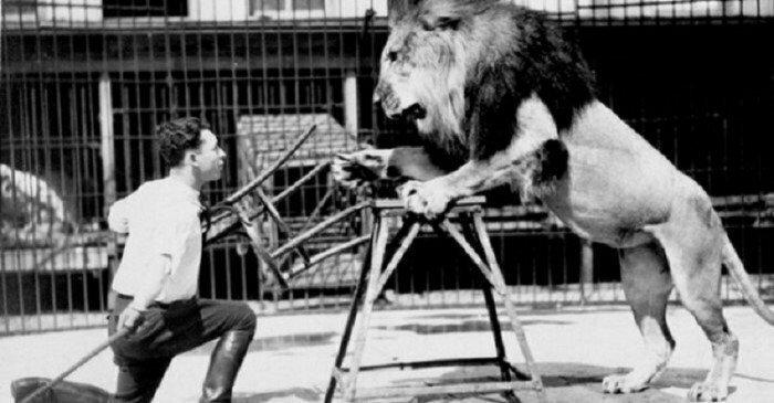 Укротители львов пользуются табуретами, поскольку львы могут сфокусироваться только на одном объекте. Видя 4 ножки, они запутываются и отступают интересно, факты, фото