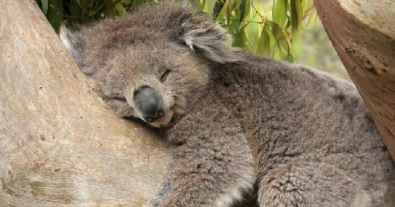 Коала спит от 18 до 22 часов в сутки интересно, факты, фото