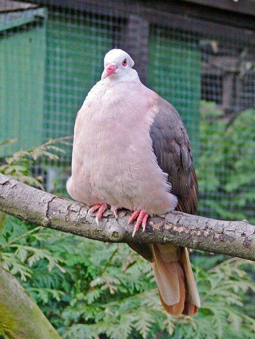 Вот так выглядит настоящий розовый голубь, а на фейковом  фото просто покрасили бедную птичку вранье, ложь, новости. разоблачение, соцсети, фейк