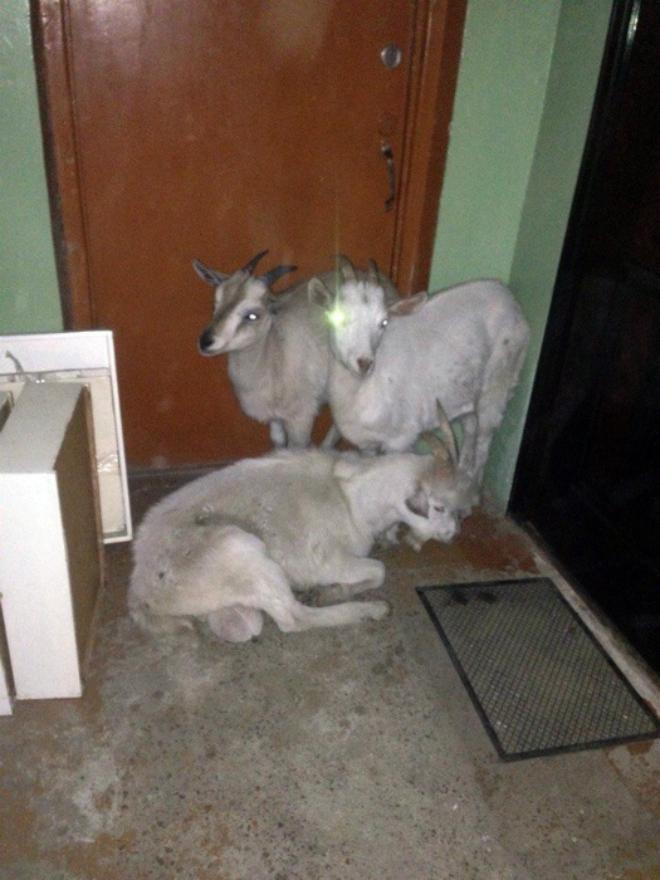 Когда соседи - козлы