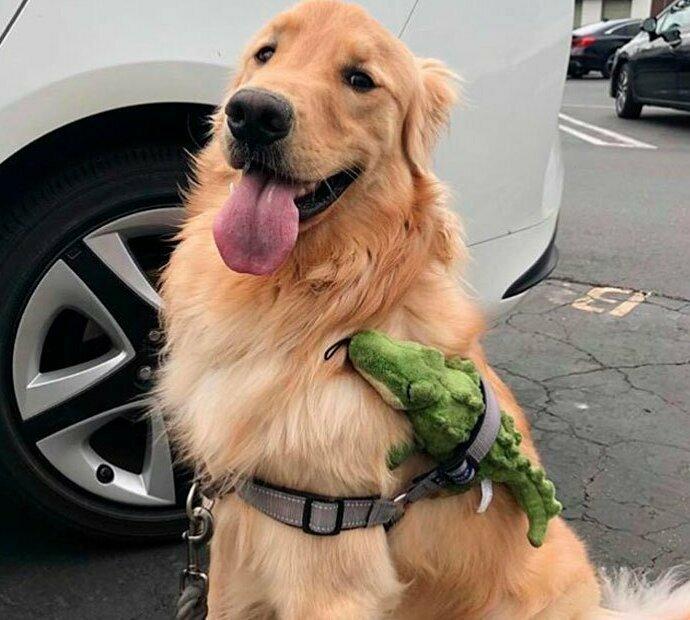 """""""Это Сойер. Его лучший друг не умеет ходить, поэтому он подвозит его на себе"""" домашние животные, истории, питомцы, ситуации, собака - лучший друг, собака друг человека, собаки, фото"""