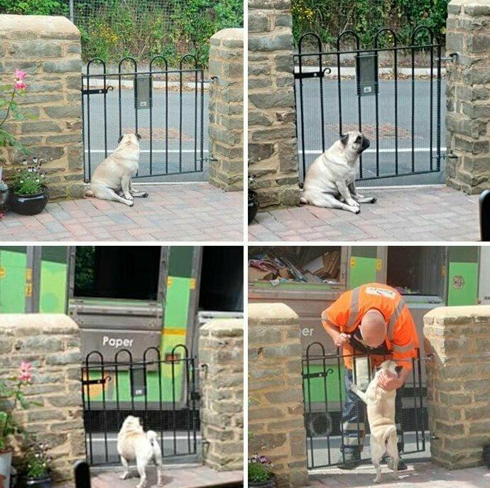 Это Уолтер. Он каждый понедельник ждет своих друзей-мусорщиков, которые всегда его гладят и угощают вкусненьким