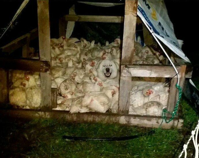 """""""На нашей ферме странная история: все куры хотят спать вместе, и приходится их разгонять. А недавно мы увидели, что к ним присоединился и наш пес"""""""