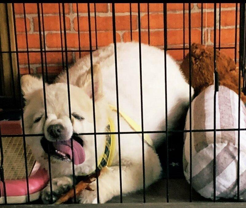 Собака-альпака выходки, звери, кадр, подловили, уморительные, фейл, фото, хозяева