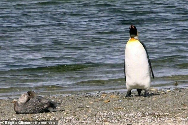 Видео забавной реакции пингвина на встреченную им утку