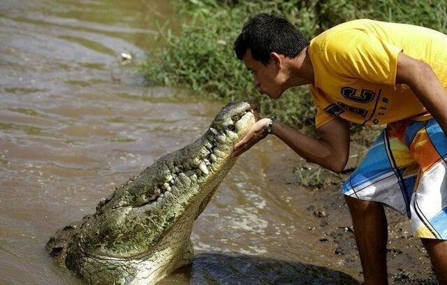 Кормление крокодила во дают, мурашки по коже, ничего себе, страшно, фото, фотографии, фотофакты, храбрые парни