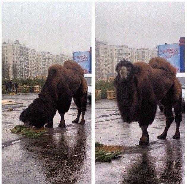 Просто верблюд, который в России кушает ёлку. Ну а чего вы хотели? Что ему в России кушать?