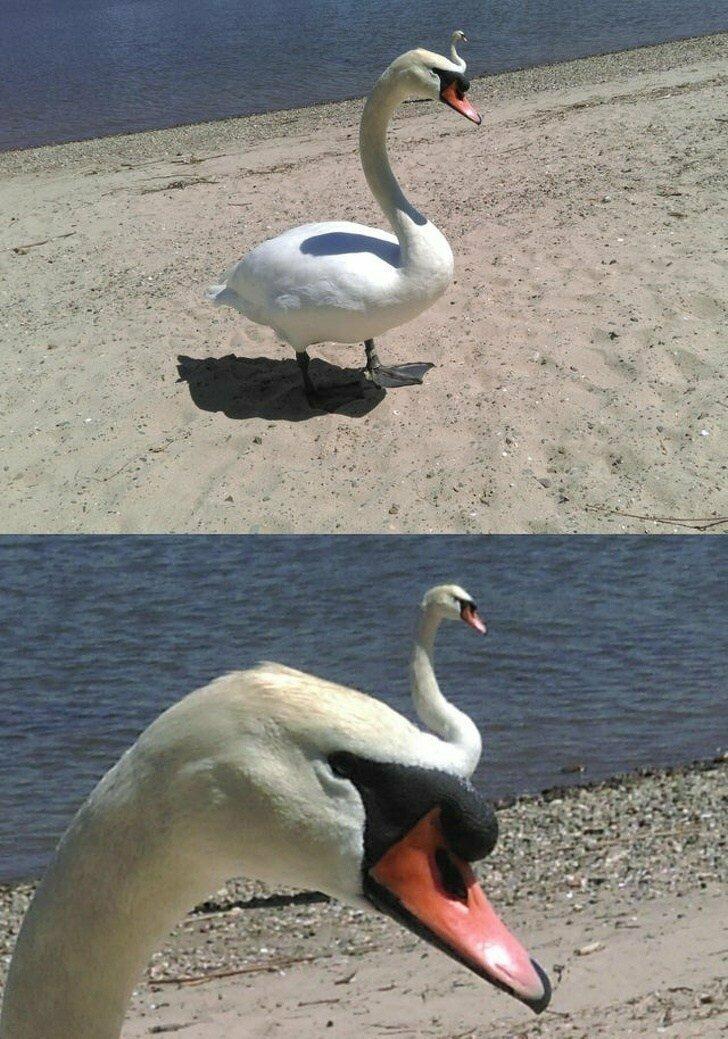 Выглядит так, будто перед нами лебедь-мутант