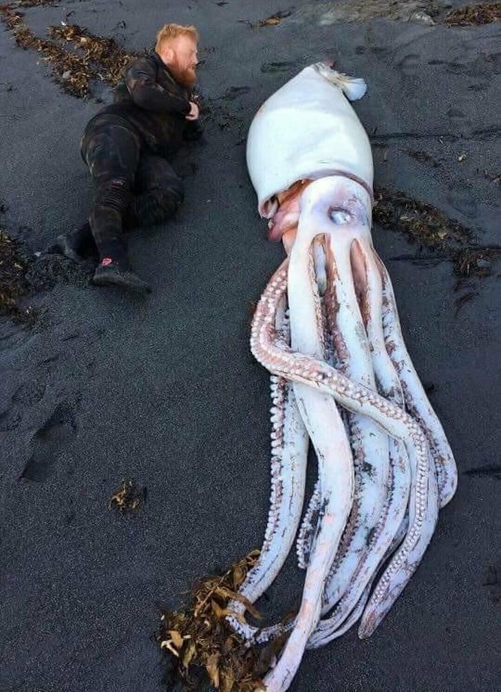 Гигантский кальмар, которого вымыло на новозеландский пляж