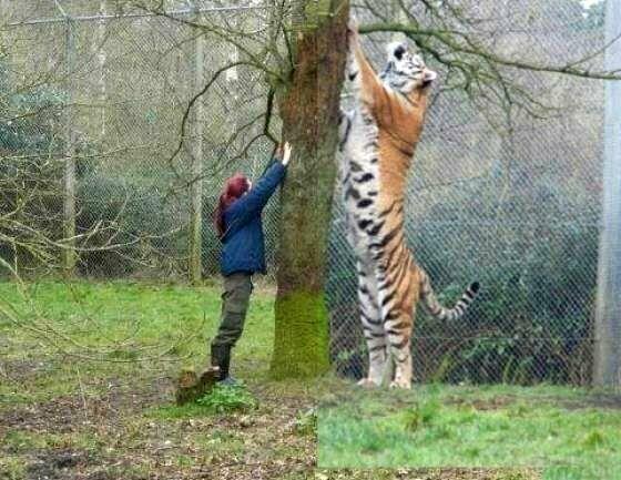 Уссурийский тигр по сравнению с человеком