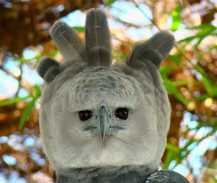 Гигантская и грозная: как выглядит южноамериканская гарпия