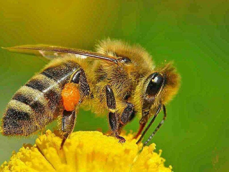 Взрывной оргазм - встреча трутня и самки пчелы длится всего 5 секунд на высоте 10-40 метров над землей, но сперма выстреливает с такой силой, что хлопок можно услышать с земли