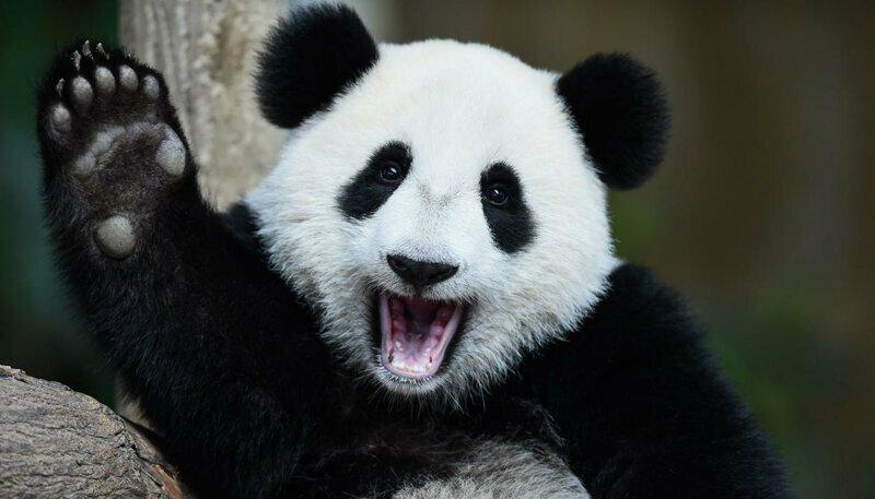 Панды очень плохо размножаются потому, что период, когда самка может быть оплодотворена лишь два дня в году