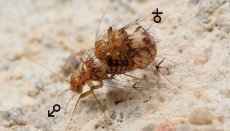 """У насекомых рода Neotrogla отряда сеноедов происходят чудеса - у самки есть подобие пениса, у самца подобие влагалища. В процессе спаривания самка садится сверху на самца и своим отростком высасывает из """"влагалища"""" самца сперму"""