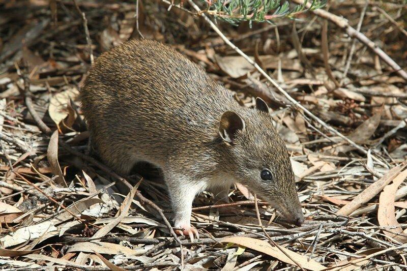 Самая короткая беременность у млекопитающих наблюдается у сумчатых.