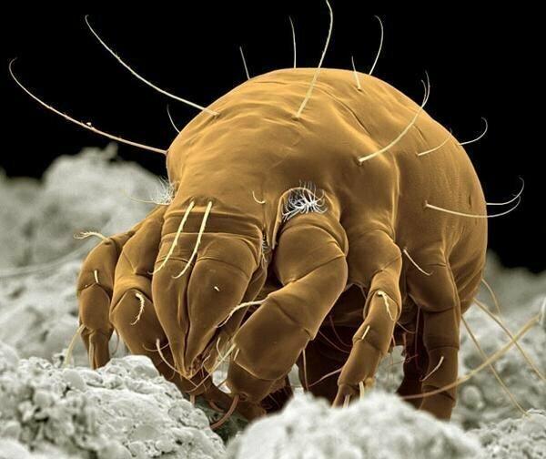 Жизнь клеща Adactylidium  полна ужасов. В его утробе всегда есть один самец и 5-6 самок. Самец еще в утробе оплодотворяет сестер, а потом они все вместе изнутри выедают маму