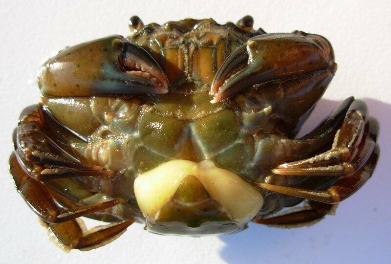Морской членистоногий паразит саккулина внедряется в тело рыбы, краба или рака, производит химическую кастрацию хозяина, а затем хозяин ухаживает за мешочком с отпрысками захватчика как за своими собственными
