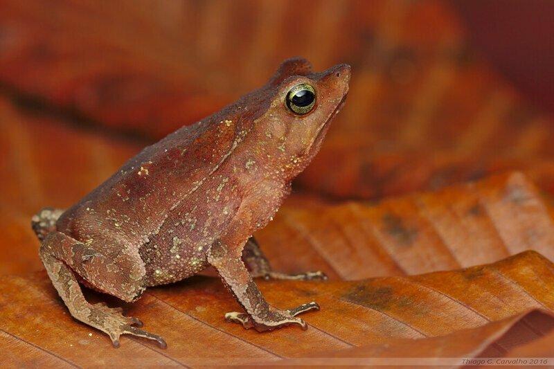 Некрофилия у амазонских лягушек Rhinella proboscidea - куча самцов наваливаются на одну самку и последние зачастую тонут. Но самцы достают из мертвой икру и оплодотворяют вне тела самки