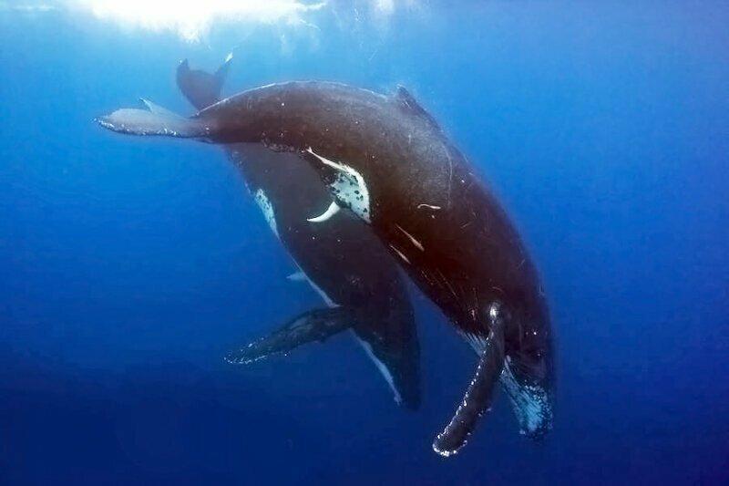 Оплодотворение китов происходит в присутствии третьего. Т.е. два самца и одна самка. Она выбирает из этих двоих, а второй во время полового акта поддерживает самку на плаву и направляет процесс