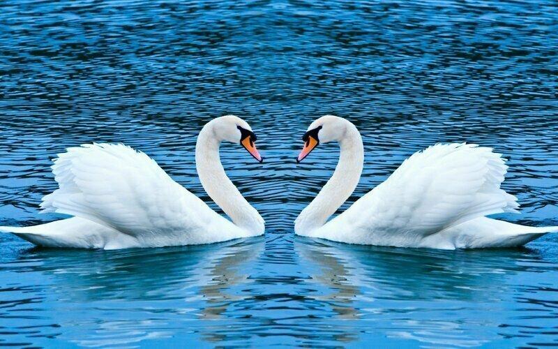 Четверть лебединых пар - это пара гомосексуалистов. Самка откладывает им яйцо, а потом изгоняется из гнезда, самцы живут сами и сами растят потомство