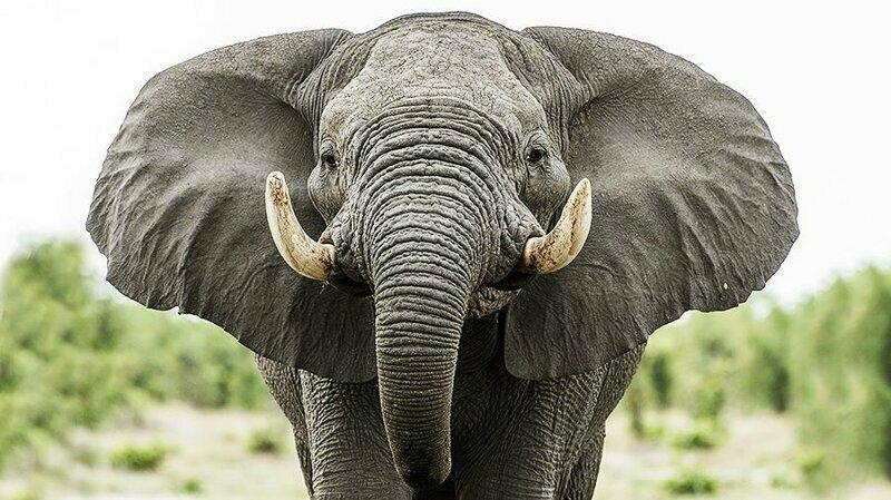 Самая длительная беременность у слона - до 600 дней