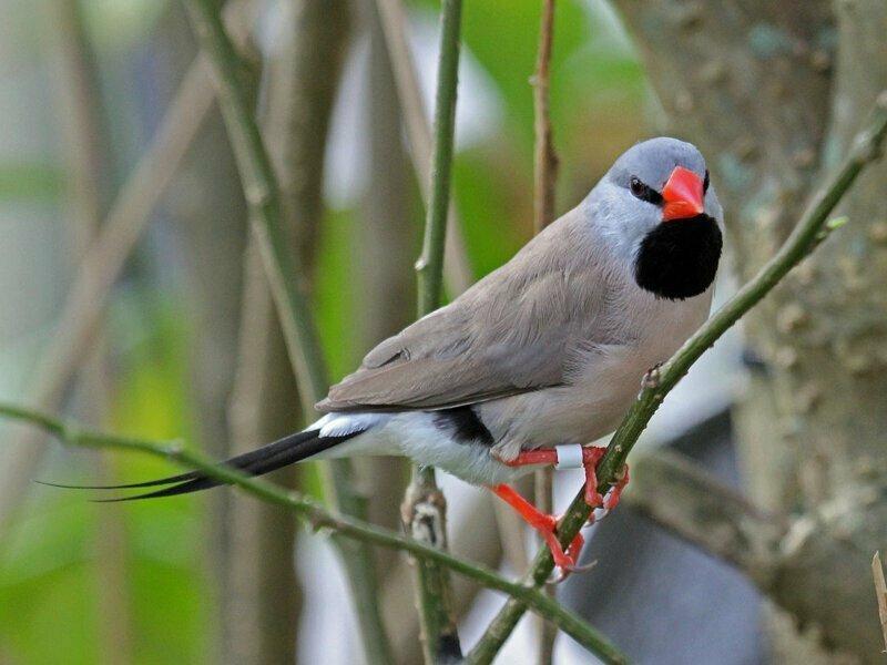 Вьюрковые ткачики могут замедлять рождение птенцов с помощью крика. Если температура воздуха сильно выше той, которая нужна для рождения птенцов, самец криком оповещает еще не вылупившихся птенцов и те замирают в развитии на  несколько дней