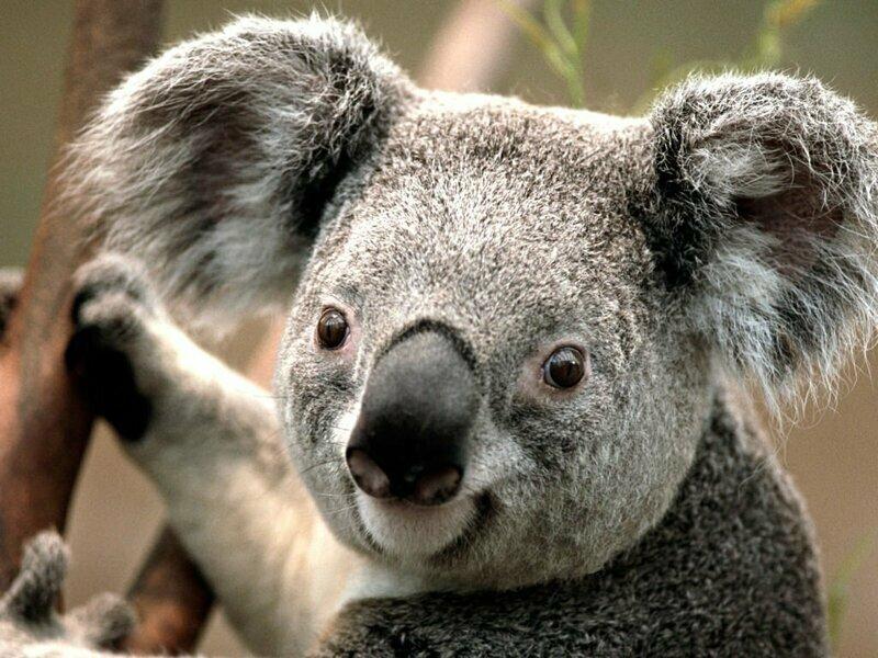 Кстати, самцы коала имеют раздвоенный пенис, а самки 2 влагалища и две матки. Это природный механизм, увеличивающий шансы вида к выживанию