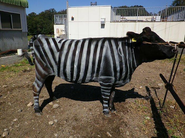 Коровы в полосочку: важный научный экперимент