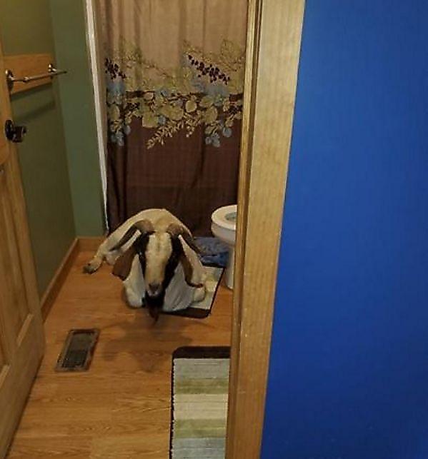 Сбежавший козёл проник в чужое жилище и задремал в туалете