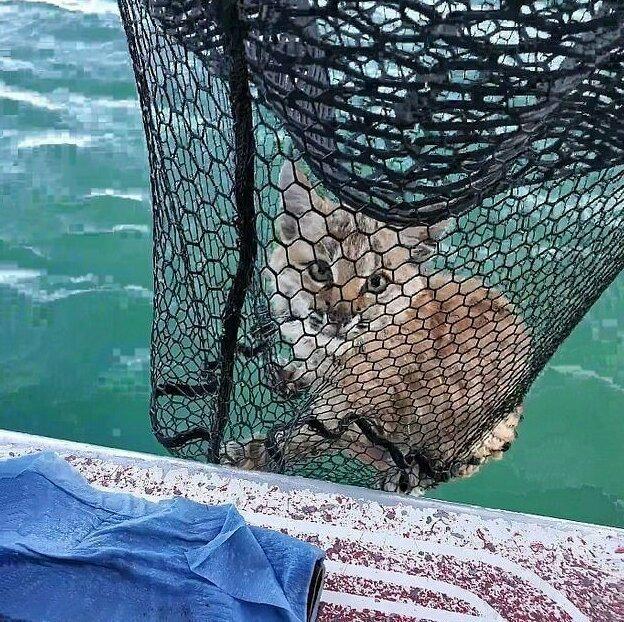 Рысь была поймана рыболовным сачком посреди озера