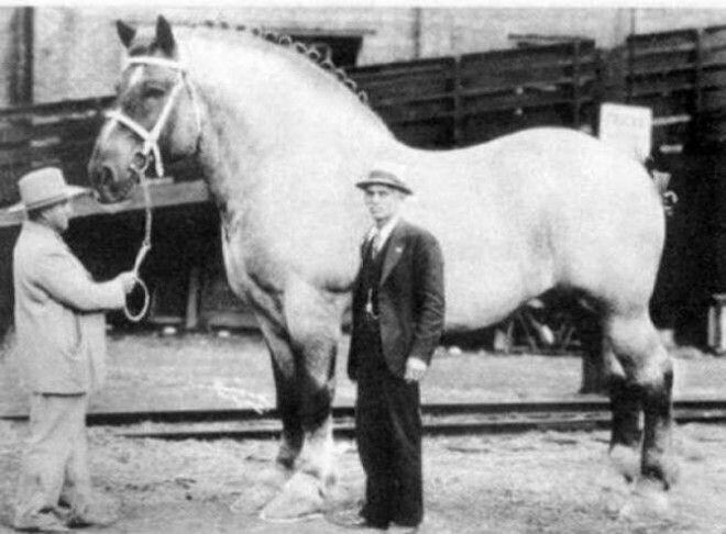 10. Самая крупная на тот момент лошадь в мире, 1929 год