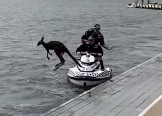 Спасательная операция тонущего кенгуру завершилась успешно!